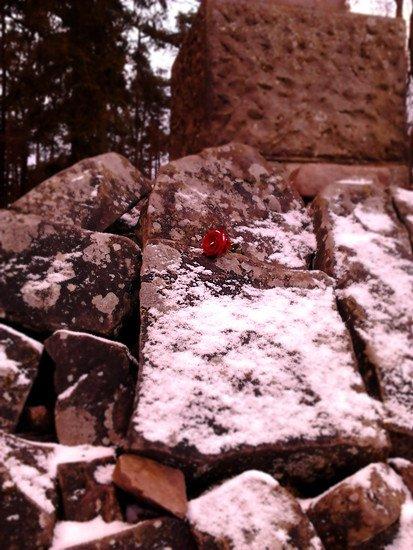 Roterose im Schnee