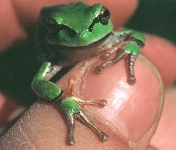 lupe frosch