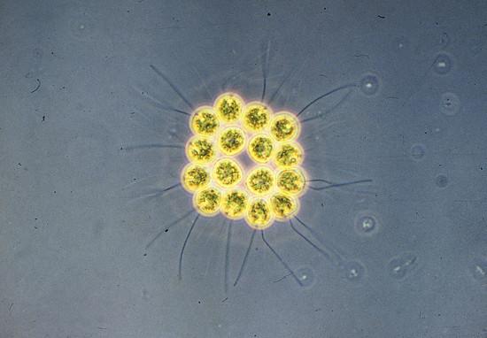 Gold Algae