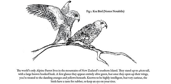 Den bis zu 48cm großen Bergpapagei gibt es nur auf der Südinsel Neuseelands