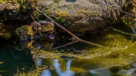 160505 Kröte im Teich