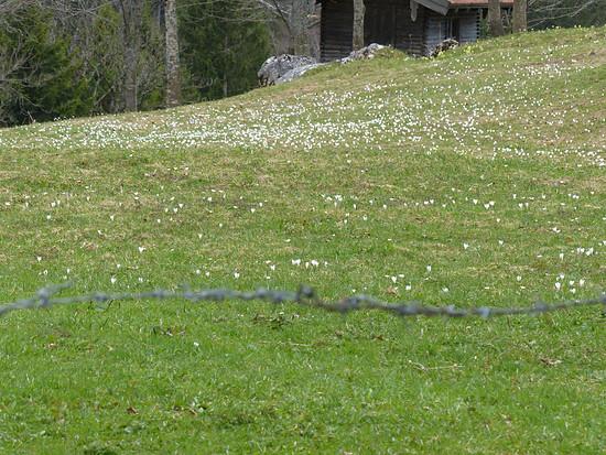 Krokusblüte auf der Chiemhauseralm