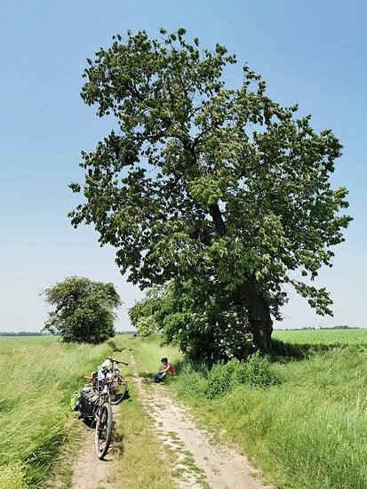 Kirschenbaum mit Schatten und leckeren süßen Kirschen.