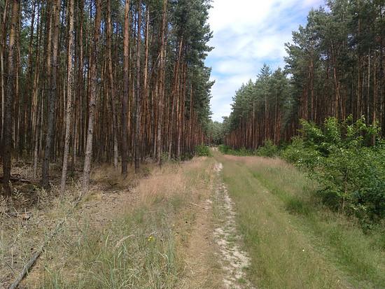 Waldweg nach Waldsieversdorf